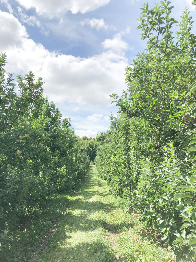 Rows of apples at Soons Orchards